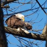 Bald Eagle at Conowingo Dam